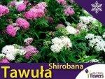 Tawuła Japońska 'Shirobana' (Spiraea japonica) Sadzonka