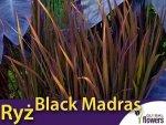 Ryż ozdobny Black Madras (Oryza sativa) nasiona