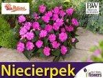 Niezwykły Niecierpek- Impatiens SunPatiens Vigorous Lavender- sadzonka