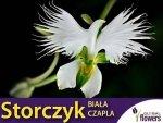 Storczyk ogrodowy Koliber/ Biała Czapla  (Habenaria radiata)