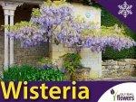 Glicynia Chińska fioletowa (Wisteria) - Bajeczne Pnącze - Sadzonka