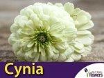 Cynia wytworna-daliowa 'Polar Bear' Biała (Zinnia elegans fl. pl. dahliaeflora) 1g