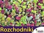 Rozchodniki, mieszanka gatunków (Sedum sp.) 0,03 g Nasiona