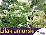 Lilak amurski ( Syringa amurensis ) nasiona