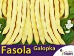 Fasola szparagowa karłowa żółtostrąkowa Galopka płaska (Phaseolus vulgaris) XXL 1000g