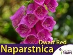 Naparstnica Purpurowa 'Dwarf Red' (Digitalis Purpurea) CEBULKA