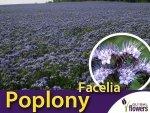 Poplony - Zielony Nawóz Ekologiczny - Facelia błękitna (500g)