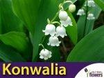 Konwalia majowa Biała (Convallaria majalis) CEBULKA