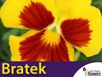 Bratek Szwajcarski Wielkokwiatowy Yellow Red Eye (Viola x Wittrockiana) 0,4g Nasiona