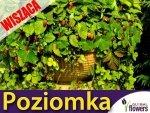 Poziomka wisząca - rozłogowa Attila (Fragaria vesca) 0,10g LUX