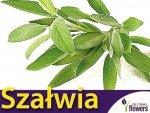 Szałwia Lekarska (Salvia officinalis) 1g