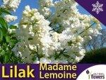 Lilak Pospolity 'Mme Lemoine' (Syringa vulgaris) Sadzonka