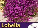 Lobelia przylądkowa, Stroiczka karminowoczerwona (Lobelia erinus) nasiona 0,1g