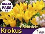 MAXI PAKA 60 szt Krokus 'GoldiLocks' (Crocus sieberi) CEBULKI