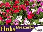 Floks, Płomyk letni - mieszanka (Phlox drummondii) 0,5g