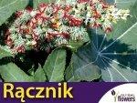Rącznik zielonolistny  (Ricinus Communis) nasiona