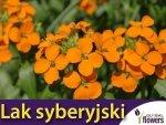 Lak syberyjski, pomarańczowy (Erysimum allionii) 1g Nasiona