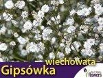 Gipsówka wiechowata, biała (Gypsophila paniculata) 1g Nasiona