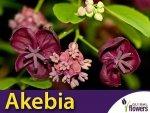 Akebia Trójlistkowa (Akebia trifoliata) Piękne czekoladowe pnącze
