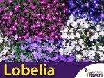 Lobelia przylądkowa, mieszanka (Lobelia erinus) nasiona 0,3g