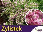 Żylistek 'Strawberry Fields' (Deutzia Hybrida) Sadzonka