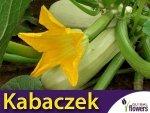 Dynia zwyczajna Kabaczek 'Złoty Cepelin' (Cucurbita pepo) 2g