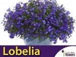 Lobelia przylądkowa, Stroiczka niebieska (Lobellia erinus) nasiona 0,2g