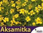 Aksamitka wąskolistna, Lulu (Tagetes tenuifolia) 0,3g
