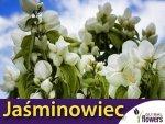 Jaśminowiec 'Biały Karzeł' (Philadelphus) Sadzonka 50/70 cm