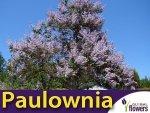 Paulownia Cesarskie Drzewko Szczęścia (Paulownia Tomentosa) 0,1g