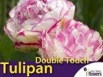 Tulipan Pełny 'Double Touch' (Tulipa) CEBULKI