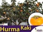 Hurma wschodnia (Diospyros kaki) niezwykle smaczne owoce Sadzonka