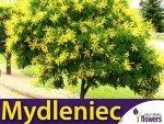 Mydleniec wiechowaty (Koelreuteria paniculata) Sadzonka XL- C5 80-100cm