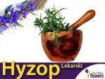 Hyzop lekarski (Hyssopus officinalis) Sadzonka