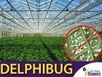 DELPHIBUG 1000 drapieżny chrząszcz (zwalcza mączlika) 250ml
