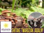 Shitake twardziak jadalny grzybnia na kołkach