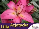 Lilia Azjatycka (lilium) Toronto cebulka 1 szt.