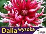 Dalia kaktusowa wysoka Bicola (Dahlia x cultourum) CEBULKA