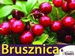 Borówka Brusznica 'Runo Bielawskie' Sadzonka Vaccinium vitis-idaea 'Runo Bielawskie'