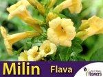 Milin Amerykański Żółty Flava (Campsis radicans) Sadzonka 60-90cm