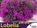 Lobelia przylądkowa zwisła Stroiczka karminowo-czerwona (Lobellia erinus var pendula) 0,1g