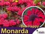 Pysznogłówka BEE HAPPY (Monarda) Sadzonka C1
