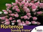 Hortensja Bukietowa  SUNDAY FRAISE® miniaturowa (Hydrangea paniculata) Sadzonka C2