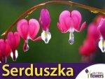 Serduszka okazałe różowe (Dicentra spectabilis) CEBULKA