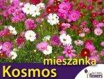 Onętek, Kosmos, mieszanka (Cosmos bipinnatus) 2g, Nasiona