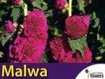 Malwa, Prawoślaz Fioletowa (Alcea rosea fl.pl.) 0,5 Nasiona