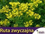 Ruta zwyczajna (Ruta graveolens) 0,3g
