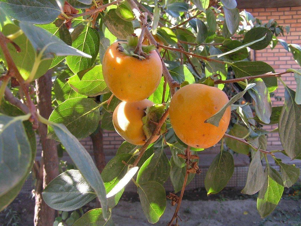 Hurma wschodnia sadzonka diospyros kaki niezwykle smaczne owoce owoce kaki egzotyczne drzewo - Arbre a kaki nom ...