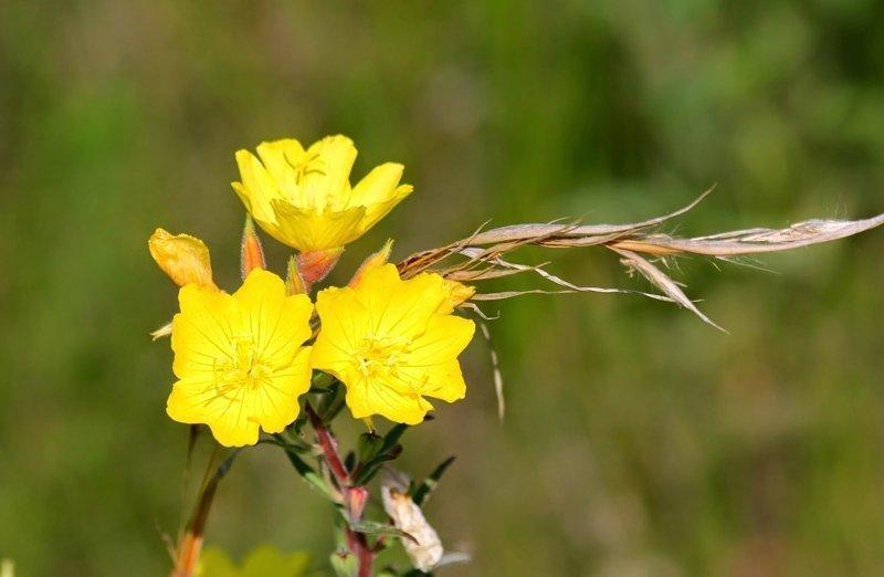 Wiesiołek Mieszanka Oenothera Sp 01g Nasiona