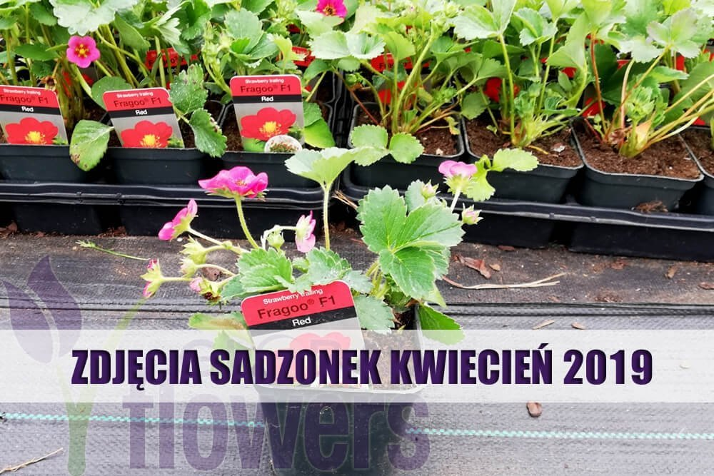 Truskawka Sweet Triathlon Sadzonka Pnąco Wisząca Fragaria X